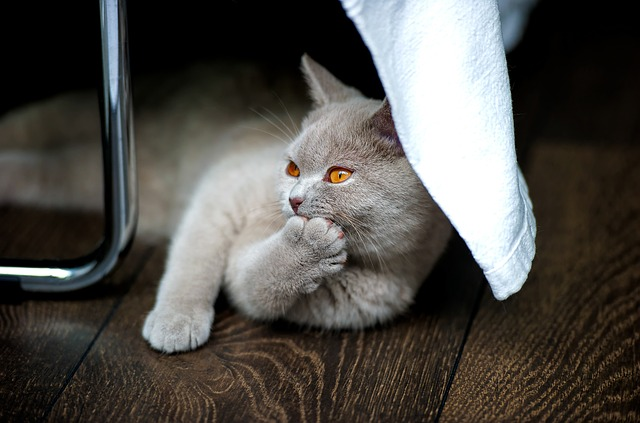 kočka britská krátkosrstá