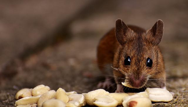 myš a oříšky