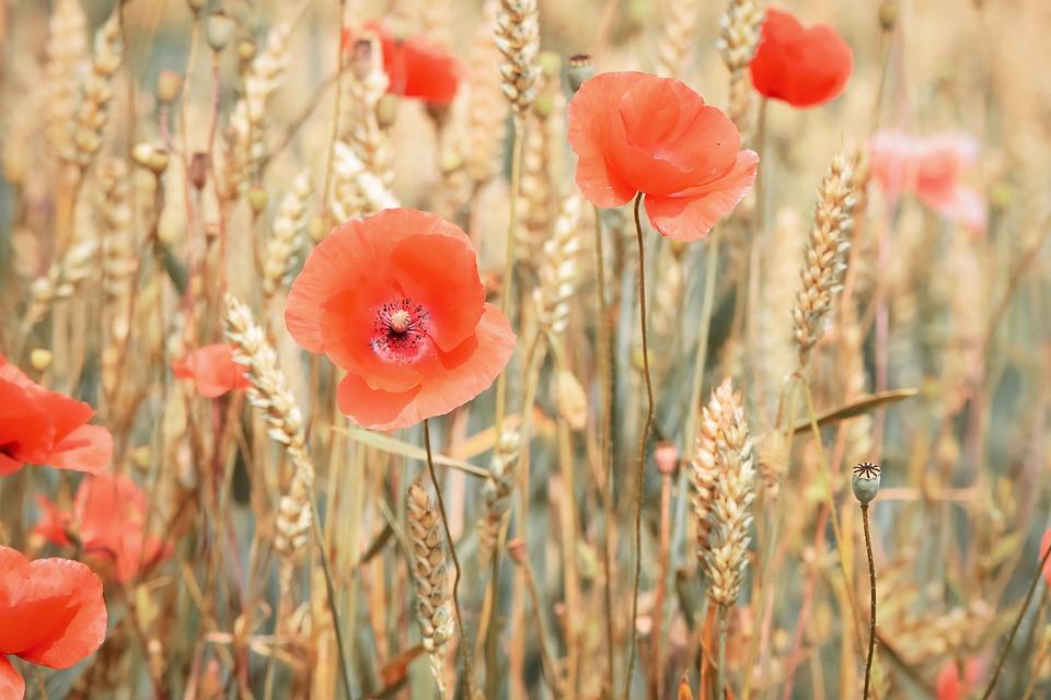 vlčí máky v pšenici